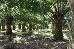 Cerita-Hantu-Sawitri-nan-Mistis-Di-Perkebunan-Kelapa-Sawit-Kalimantan