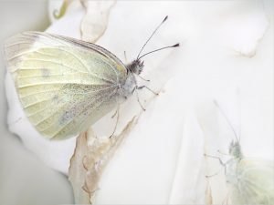 White butterfly wallpaper