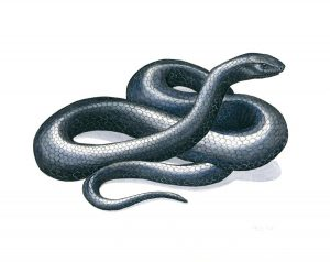 eastern-indigo-snake-anna-bronwyn-foley