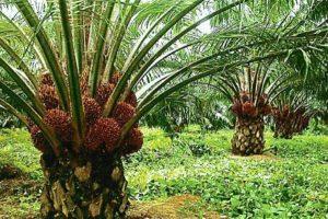 kelapa sawit 02